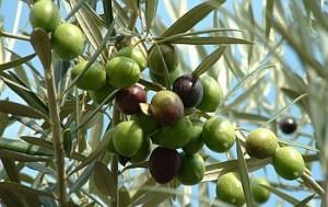 frunze maslin