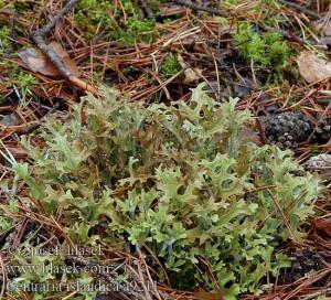 lichen islandez
