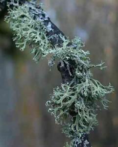 lichen stejar